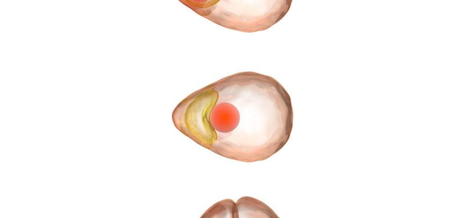 Animal Cloning Process, Illustration
